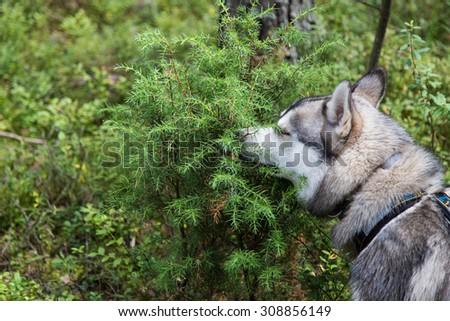 Dog is sniffing a bush  - stock photo