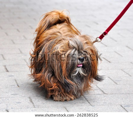 Dog is walking down the road on a leash. Shih Tzu or Lhasa Apso dog.  - stock photo