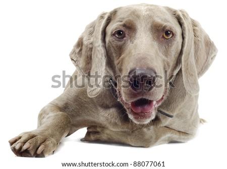 Dog isolated on white - stock photo
