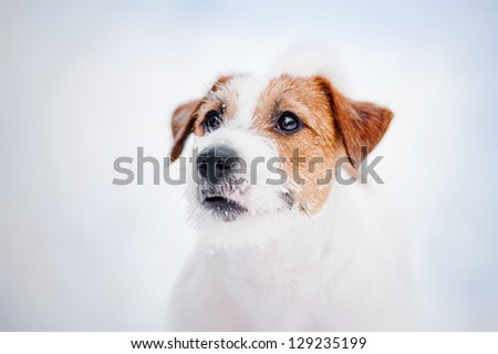 dog Jack russel terrier portrait in winter - stock photo