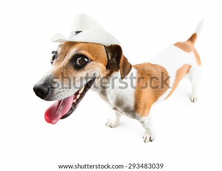 Dog jack russel terrier with cowboy hat smiles all teeth. Preparing to Rodeo  On white background - stock photo