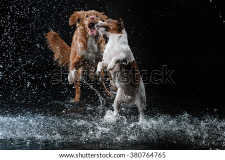 Dog Jack Russell Terrier and Dog Nova Scotia Duck Tolling Retriever,  dog Motion in the water, active dogs, aqueous shooting - stock photo