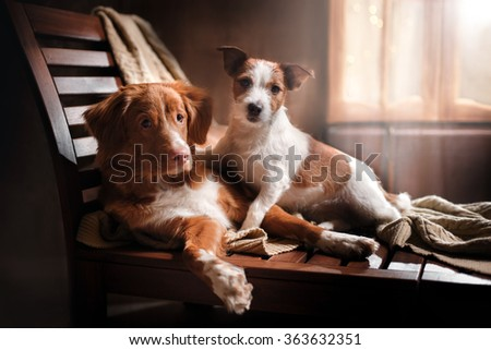 Dog Jack Russell Terrier and Dog Nova Scotia Duck Tolling Retriever holiday, portrait dog on a studio color background