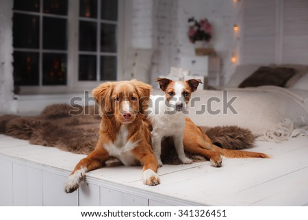Dog Jack Russell Terrier and Dog Nova Scotia Duck Tolling Retriever on a studio background