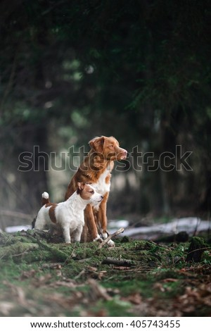 Dog Jack Russell Terrier and Dog Nova Scotia Duck Tolling Retriever walking in the forest, spring - stock photo