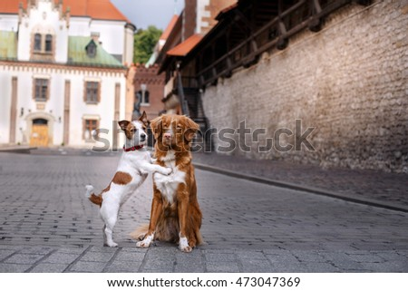 Dog Jack Russell Terrier and Dog Nova Scotia Duck Tolling Retriever walking in the old town