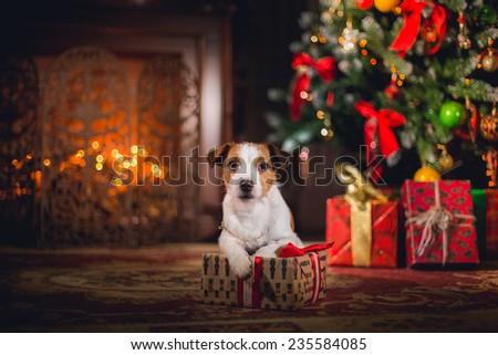 Dog Jack Russell Terrier. holiday, Christmas - stock photo