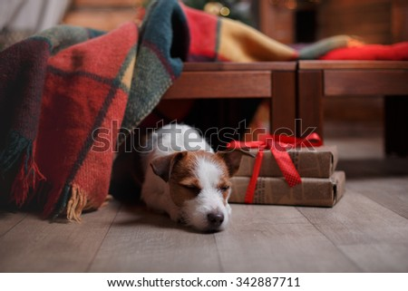 Dog Jack Russell Terrier holiday, Christmas and New Year