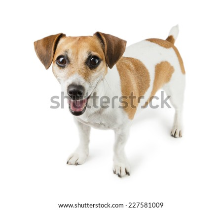 Dog Jack Russell Terrier in full growth - stock photo