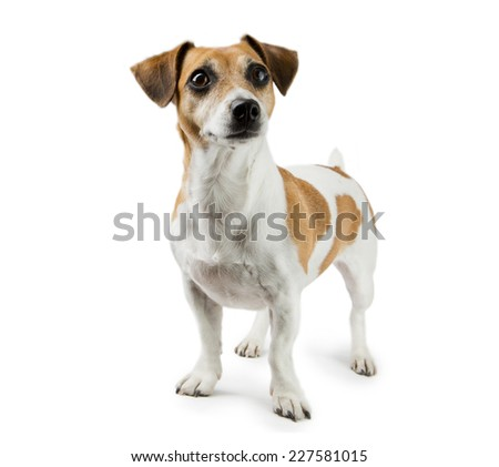 Dog Jack Russell Terrier in full length. Adorable smart snout - stock photo