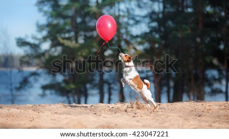 Dog Jack Russell Terrier jumps in the air to catch flying balloons, dog playing with balloon - stock photo