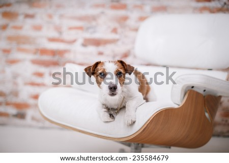 Dog Jack Russell Terrier, Studio, interior - stock photo