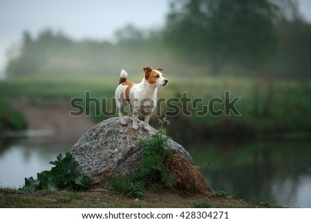 Dog Jack Russell Terrier walking by the lake - stock photo