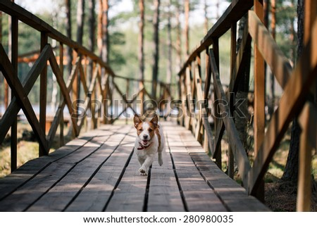 Dog Jack Russell Terrier walks in the park, summer - stock photo