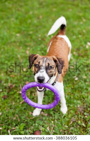 dog Jack Russell with a toy for training - stock photo