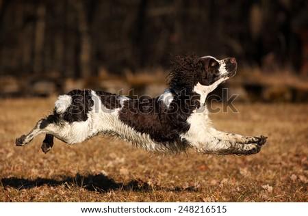 Dog Jumping - stock photo