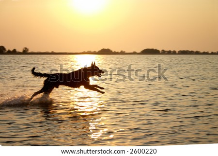 Dog jumping in the lake in the light of sunset