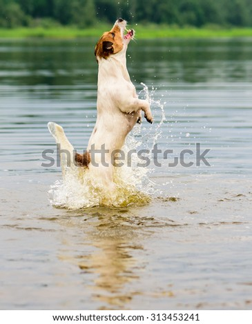 Dog jumping in water with splash - stock photo