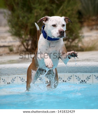 Dog jumping off the top stair of a pool into the water - stock photo