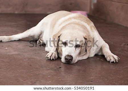dog labrador retriever laying down sad waiting owner come back home