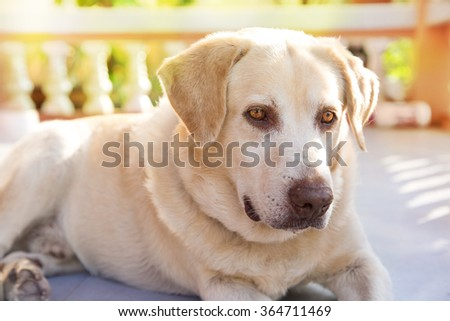 dog labrador retriever lying down front house