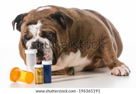 dog laying beside several pill bottles on white background - english bulldog - stock photo