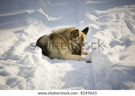 Dog laying in the snow