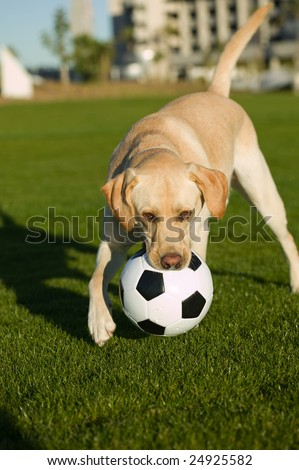 Dog laying on its back playing in the park - stock photo