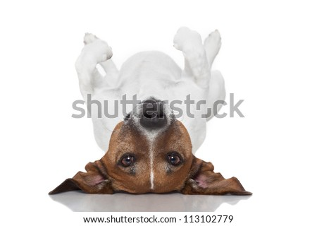 dog  laying upside down on back - stock photo