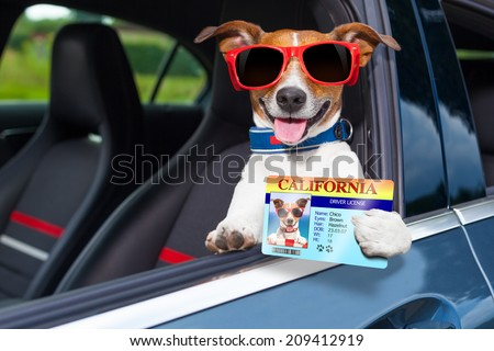 dog leaning out the car window showing the drivers license - stock photo