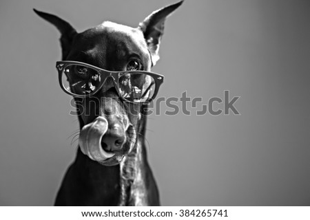 dog licking lips while wearing glasses in black and white  - stock photo
