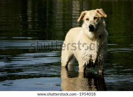Dog light by setting sun in calm lake - stock photo
