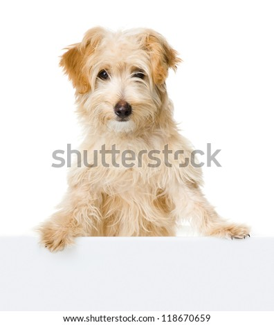 dog looking and camera.  isolated on white background - stock photo