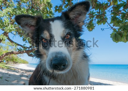 Dog looking at you on tropical crystal polynesian sea water sandy beach - stock photo