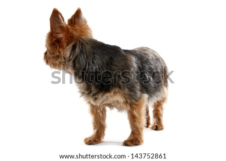 dog looking back isolated on white, yorkshire terrier. - stock photo