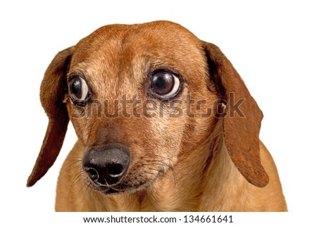 Dog Looking Concerned/ Close Up/ Isolated On White - stock photo