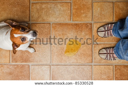 Dog looking up at it's master as she discovers it's urine on the floor
