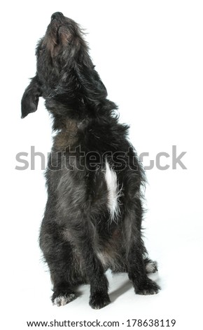 dog looking up - mixed breed dog looking up isolated on white background - stock photo