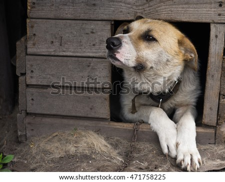 dog looks out from a wooden dog kennel