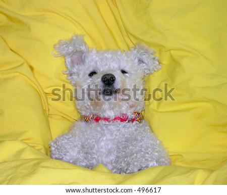 Dog lying in bed like human - stock photo