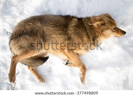 dog lying in the snow outdoors in winter - stock photo