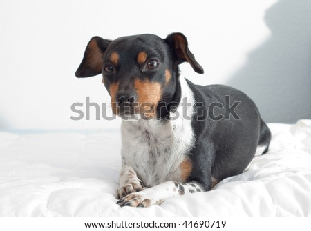 dog lying on a bed3