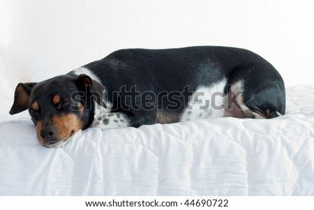 dog lying on a bed4