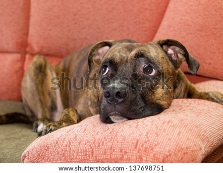 Dog lying on a couch inside a home.