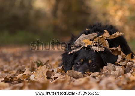 Dog lying on a forest road covered with leaves