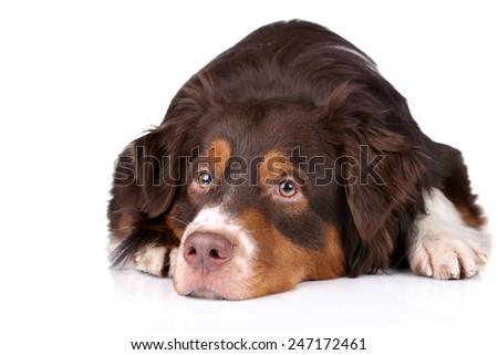 Dog lying on a white background - stock photo