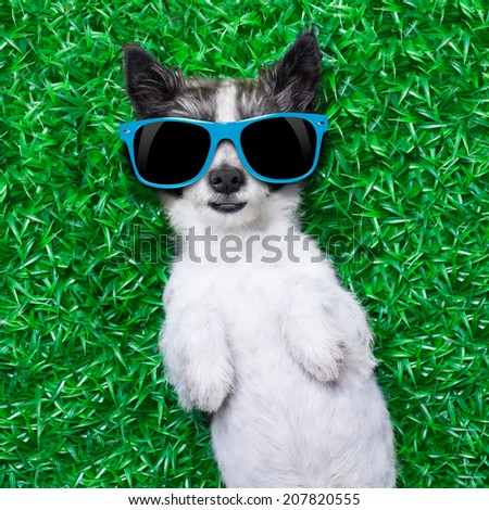 dog lying on grass with blue sunglasses - stock photo