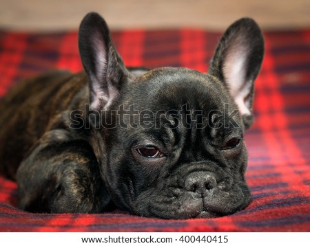Dog lying on the bed. Checkered red plaid. Pedigreed Dog, French Bulldog.