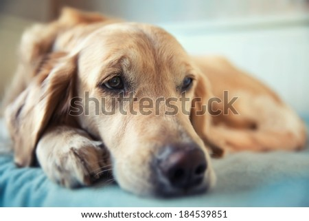 Dog lying on the bed - golden retriever - stock photo