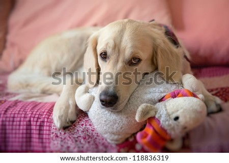Dog lying on the bed with his head resting on a plush cushion - golden retriever - stock photo